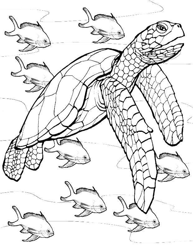 Drawn sea turtle colouring picture Adults Outline Sea Kleuren Turtle