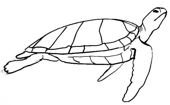 Drawn sea turtle draw a How view Sea Turtle drawing