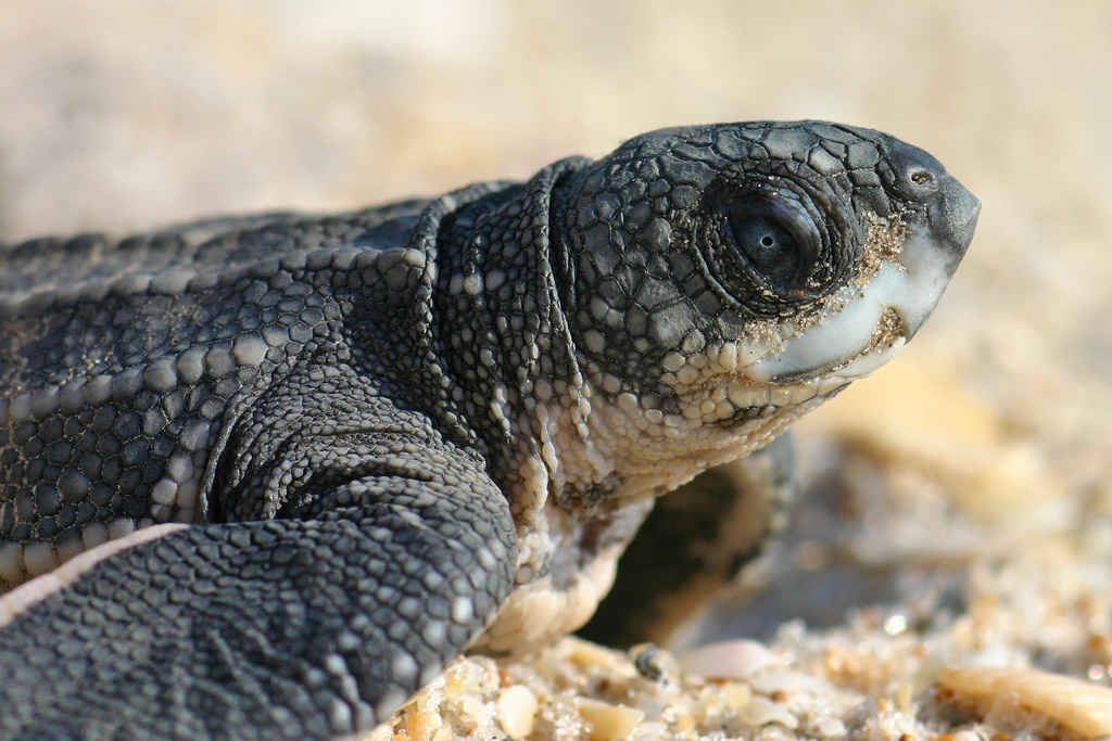 Drawn sea turtle florida By to sea sea turtle