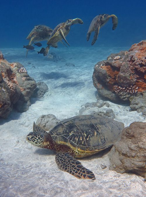 Drawn sea turtle florida This more Sea Florida Turtles