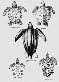 Drawn sea turtle florida Of found Turtle turtle Internal