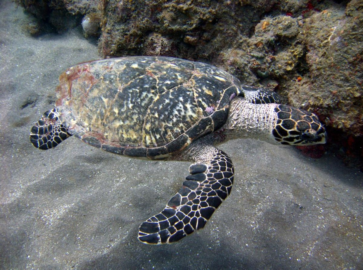 Drawn sea turtle florida Hawksbill Wikipedia sea turtle