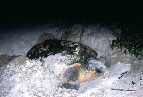 Drawn sea turtle florida Conservancy Efforts Eggs And The
