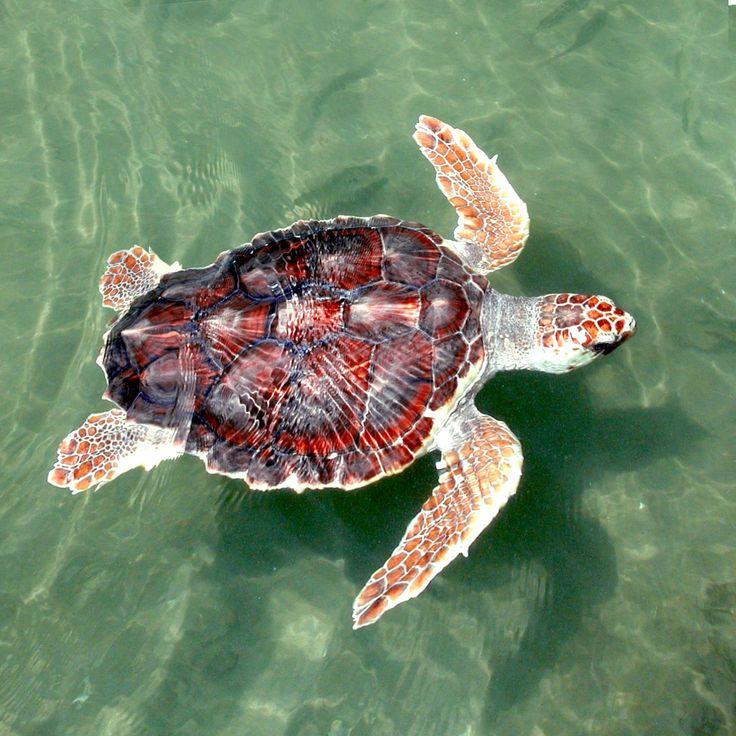 Drawn sea turtle florida Art to Sea turtle Sea