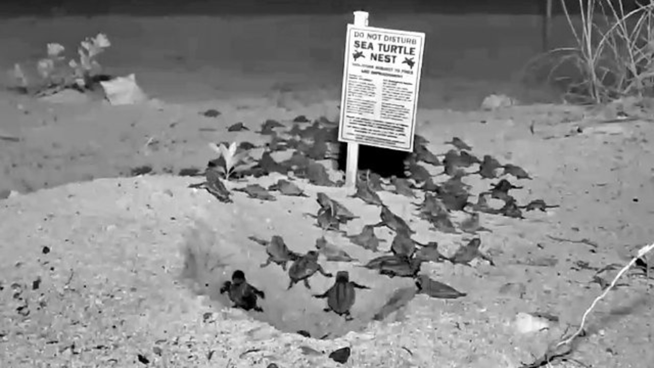 Drawn sea turtle florida Webcam turtle Keys turtle webcam