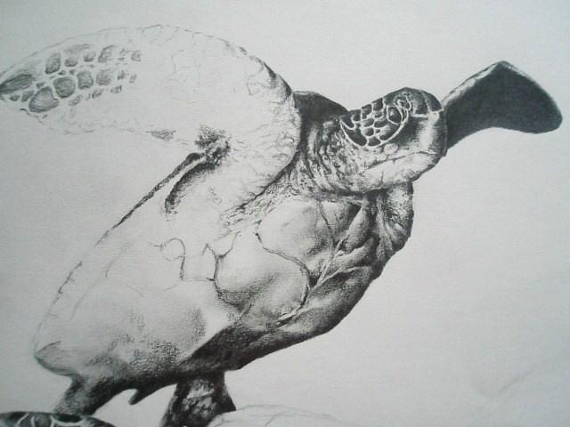 Drawn sea turtle graphite pencil Turtle by DeviantArt wip CMTorrez