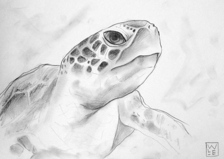 Drawn sea turtle graphite pencil On 14 about Animals #pencil