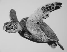 Drawn sea turtle graphite pencil To see information Drawings Turtle