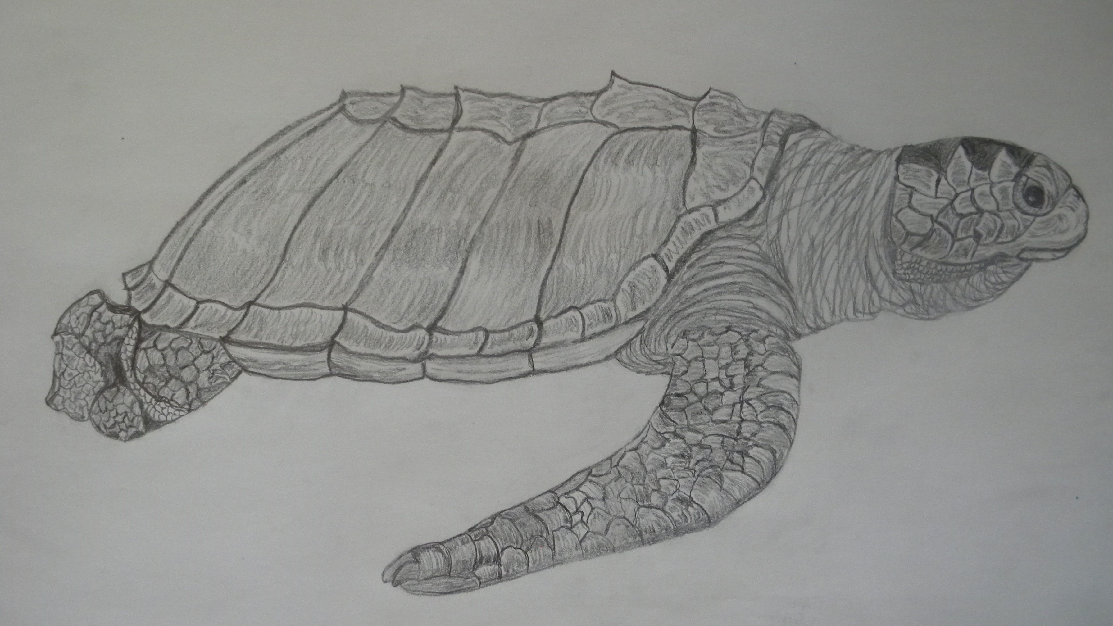 Drawn sea turtle graphite pencil Drawings – Patsy's Turtle Ridley