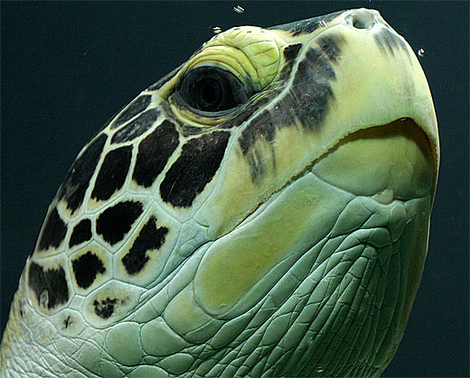 Drawn sea turtle realistic Head Turtle Green turtle sea