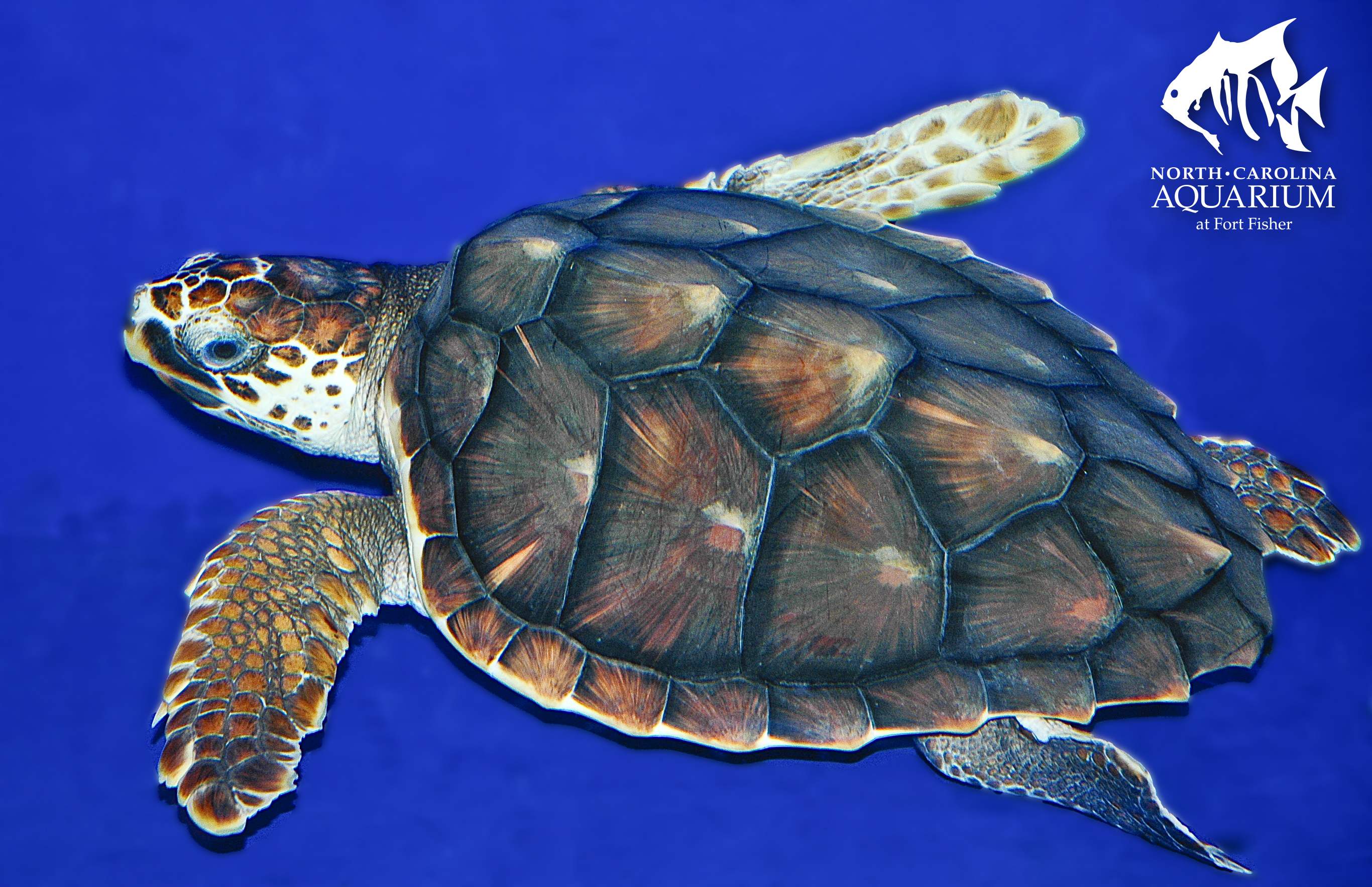 Drawn sea turtle loggerhead turtle  Lesson Sea Exploration Turtle