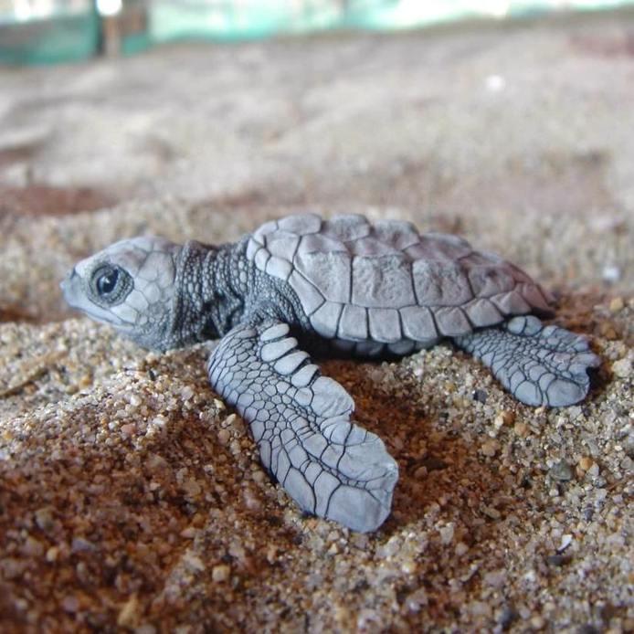 Drawn sea turtle mexico New Viva Juluchuca Turtle Playa