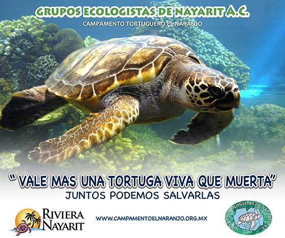 Drawn sea turtle mexico The Sea Nayarit Contest Mexico