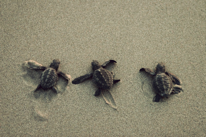 Drawn sea turtle mexico Of Mexico Surfing Cardon Resort