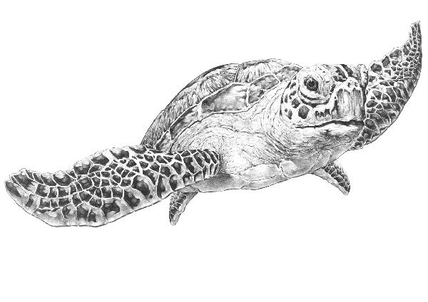 Drawn sea turtle pen and ink Turtle Board Yarragon on Matthews