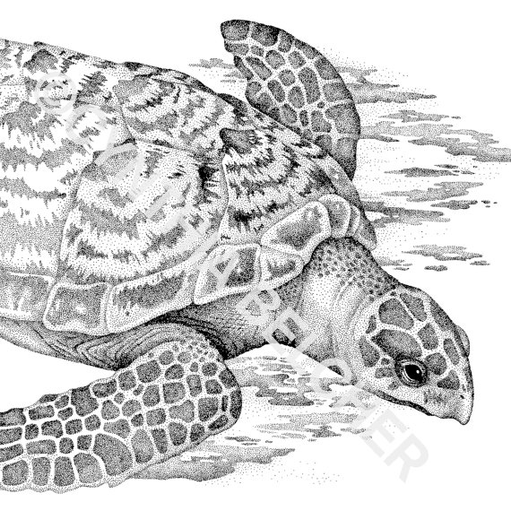 Drawn sea turtle pen and ink Photo#2 Turtle Sea turtle Hawksbill