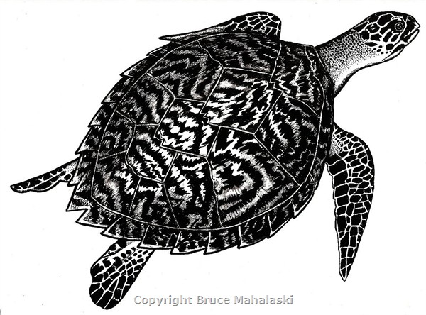 Drawn sea turtle pen and ink A Hawksbill World for Turtle