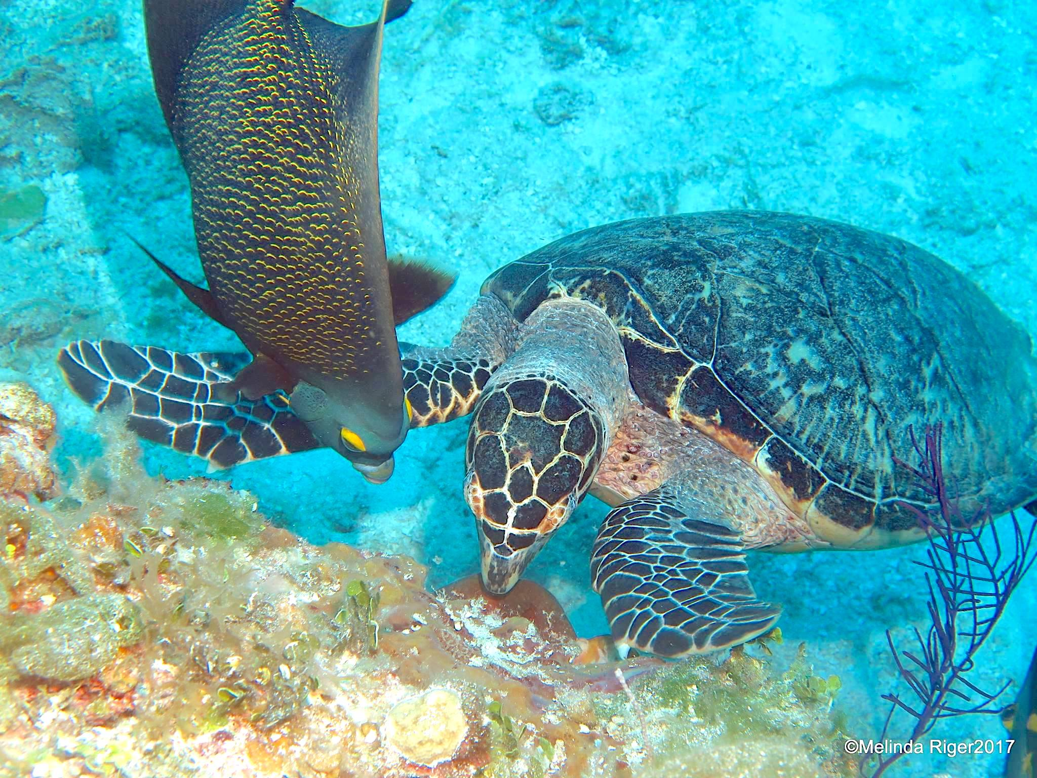 Drawn sea turtle queen angelfish Turtle Turtle  HARBOUR Angelfish