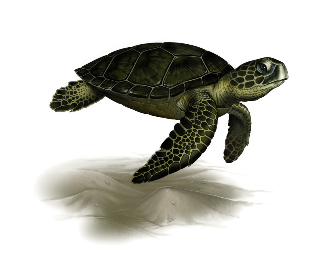 Drawn sea turtle realistic Drawing Turtle Realistic turtle sea