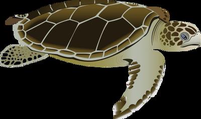 Drawn sea turtle scientific illustration (Flatback Vector : adult Natator