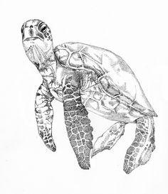 Drawn sea turtle scientific illustration Illustration@Science Com Sea Ink