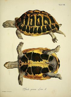 Drawn sea turtle scientific illustration IllustrationNature Naturgeschichte Turtle  Schildkröten