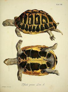 Drawn sea turtle scientific illustration Der BRUTE Turtle J D