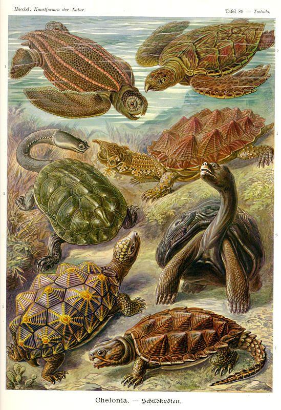 Drawn sea turtle scientific illustration Ernst on Natur turtle DrawingSea