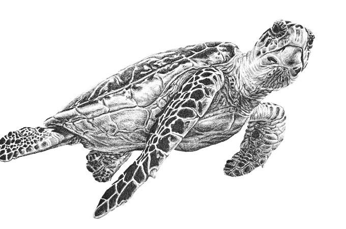 Drawn sea turtle scientific illustration Illustration Scientific Sea A Sea