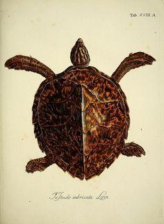 Drawn sea turtle scientific illustration Curious of Week Find Frozen