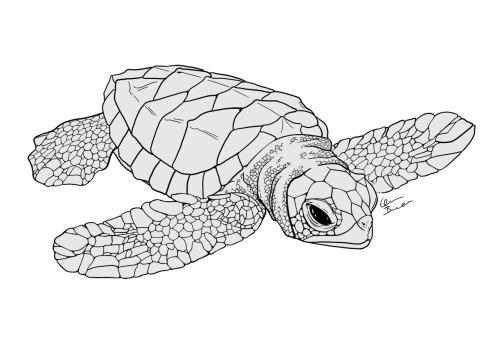 Drawn sea turtle scientific illustration Quinnidae: Download I Scientific Of