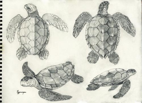 Drawn sea turtle scientific illustration Toothanddraw: Scientific Scientific turtles