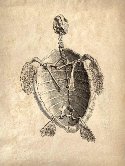 Drawn sea turtle scientific illustration Natural Illustration Find Pinterest on