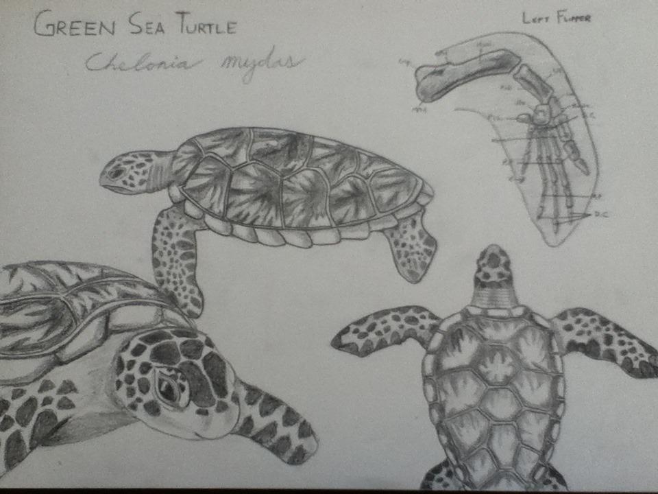 """Drawn sea turtle scientific illustration """" Green — scientific fx"""