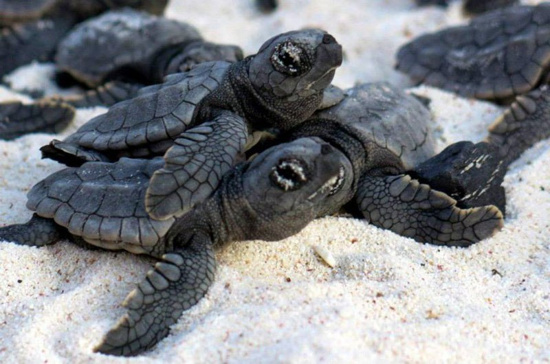 Drawn sea turtle silver dollar Hatchlings help sea to turtle