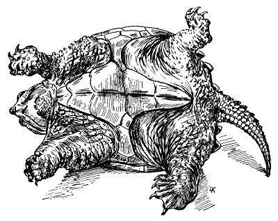 Drawn sea turtle snapping turtle God's upside @ down Snapping