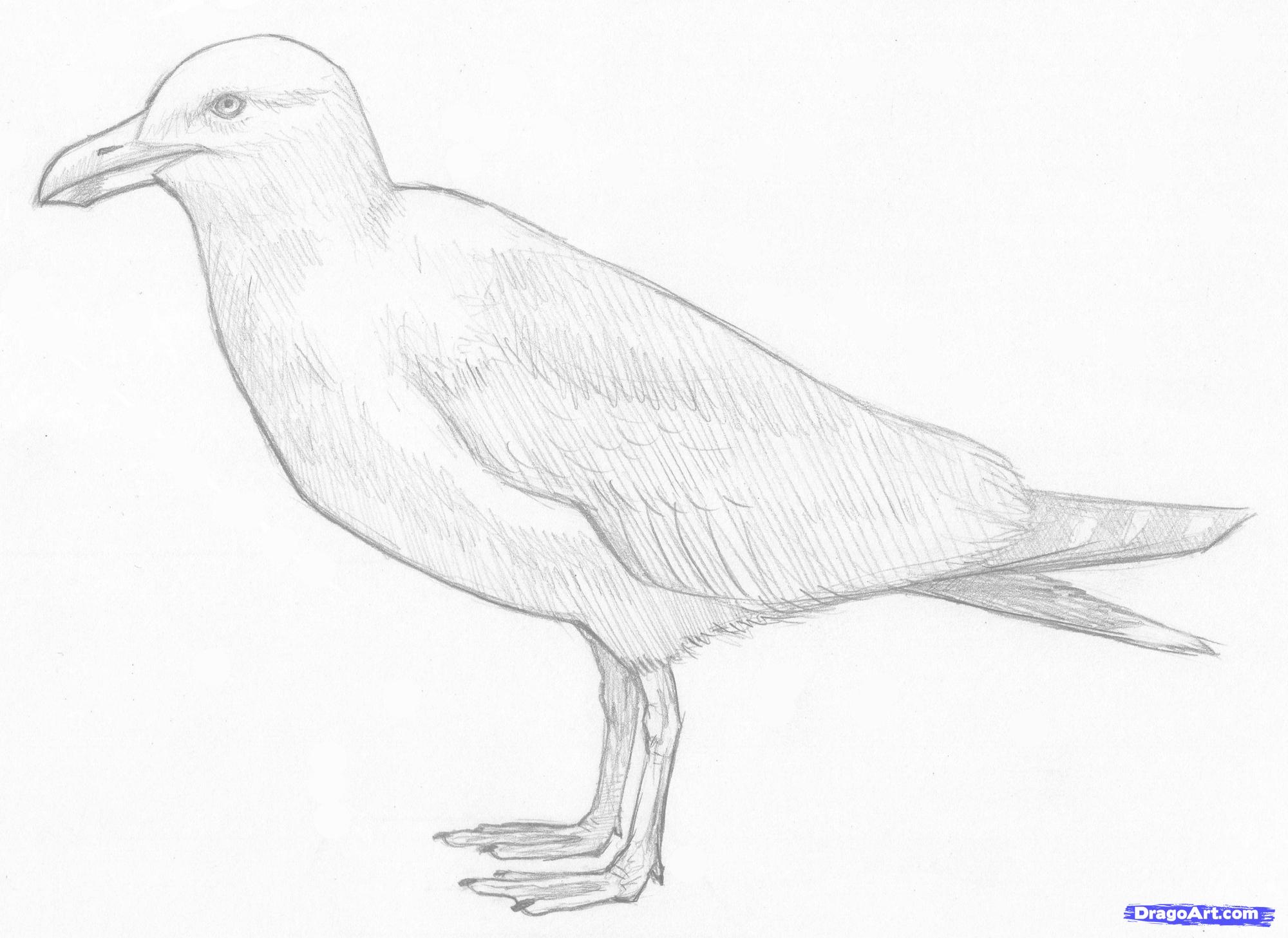 Drawn seagull seagul Drawing Seagull photo#3 Seagull Drawing
