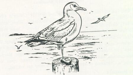 Drawn seagull black and white NavyStuff Coxswain Boatswain &