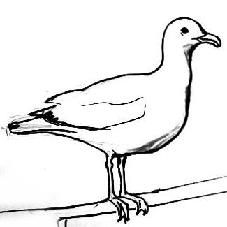 Drawn seagull black and white Seagull a drawing Seagull draw