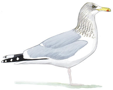 Drawn seagull herring gull Audubon Herring Black Field Gull