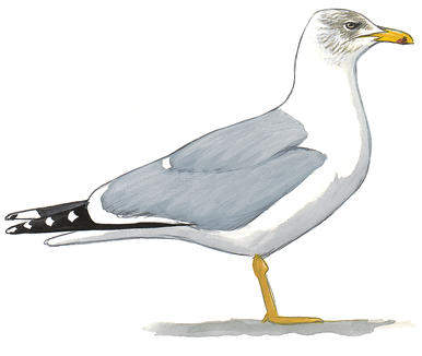 Drawn seagull herring gull Field Yellow Western Guide legged