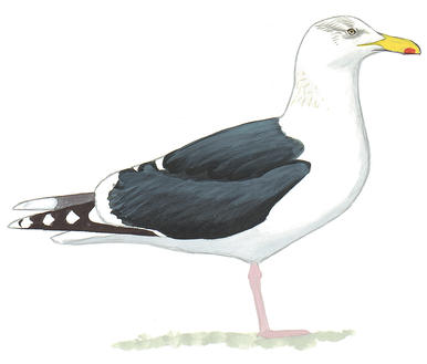 Drawn seagull herring gull Audubon Great Gull Field Black