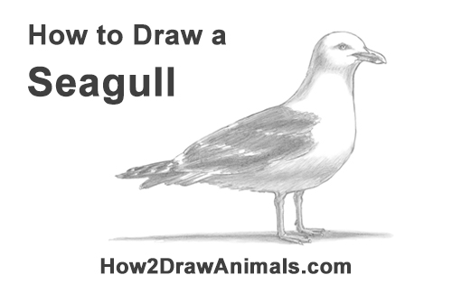 Drawn seagull herring gull Bird a How a Standing