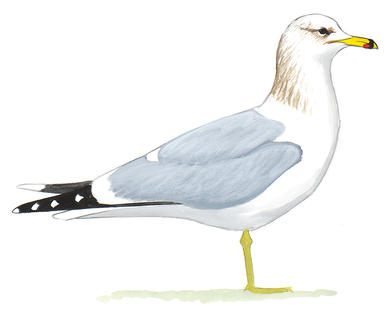 Drawn seagull herring gull Guide California Gull Gull Field