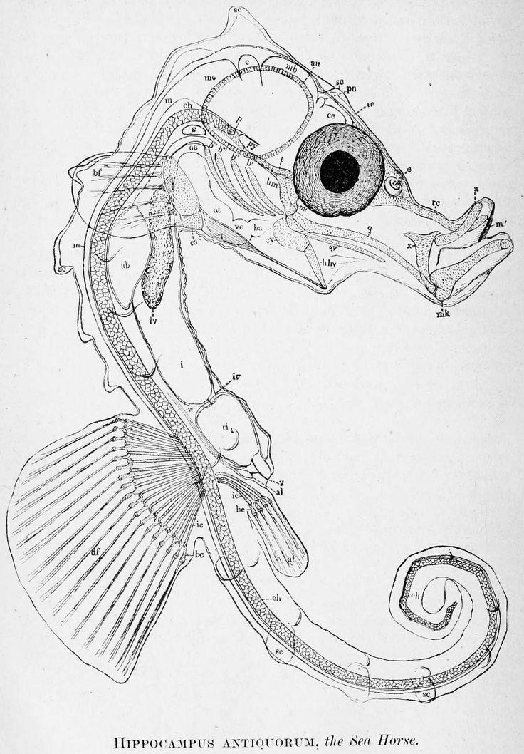 Drawn seahorse vector Haeckel on Ernst & Find