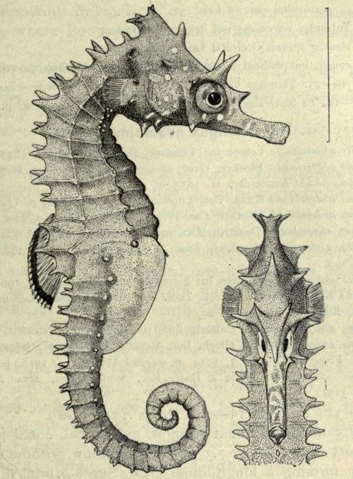 Drawn seahorse vector Sea images Seahorses about on