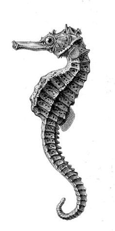 Drawn seahorse realistic Best : seahorse Réunion Hippocampus
