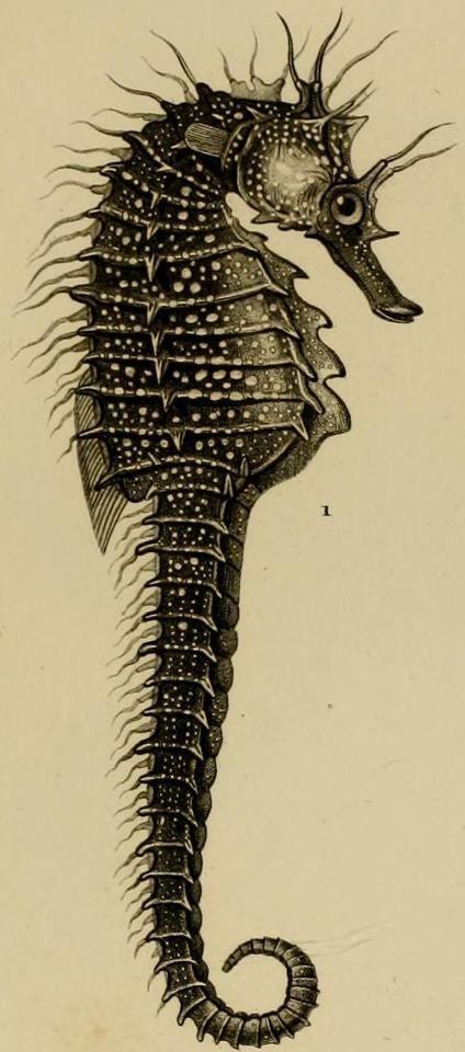 Drawn seahorse underwate animal Tattoo inspiration tattoo tattoo scientific