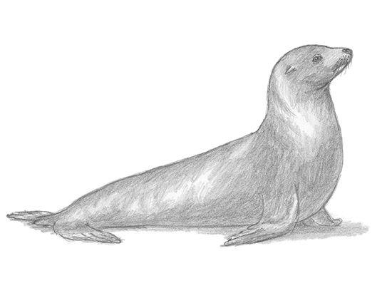 Sea Lion clipart arctic seal #11