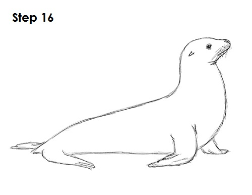 Drawn seal How Animals 16 to Drawing